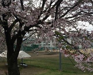 20160403熊高桜.jpg